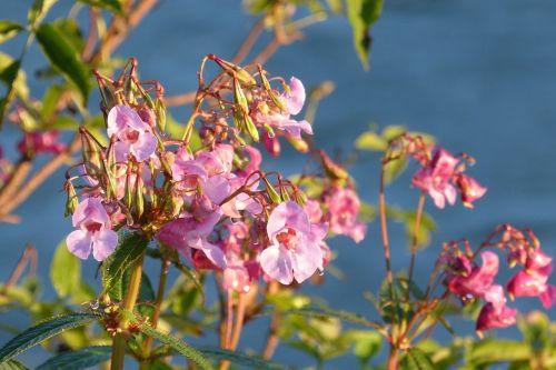 balsam indian springkraut flower