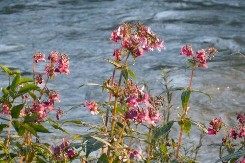 balsam indian springkraut water