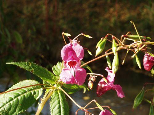 balsam blossom bloom