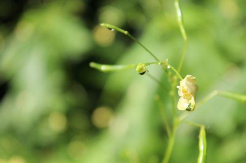 balsam plant blossom