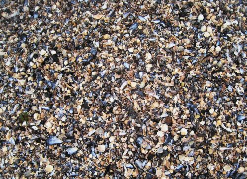 baltic clams shell beach mussels