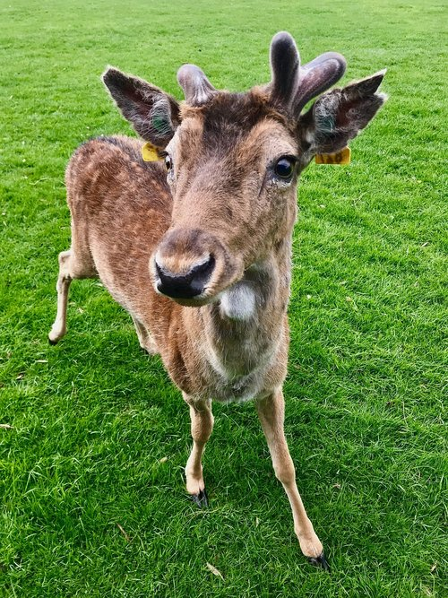 bambi  fawn  nature