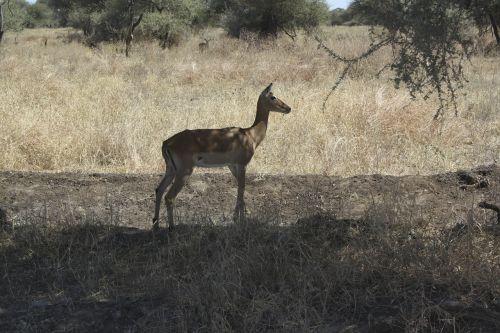 bambi africa animals