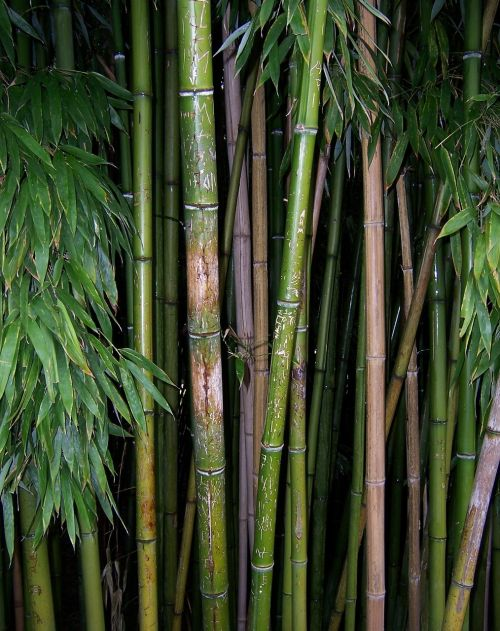 bamboo green plant