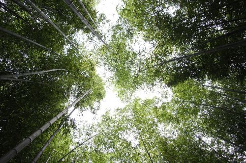 bamboo sky forest