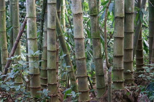 bamboo bambusoideae rhizome