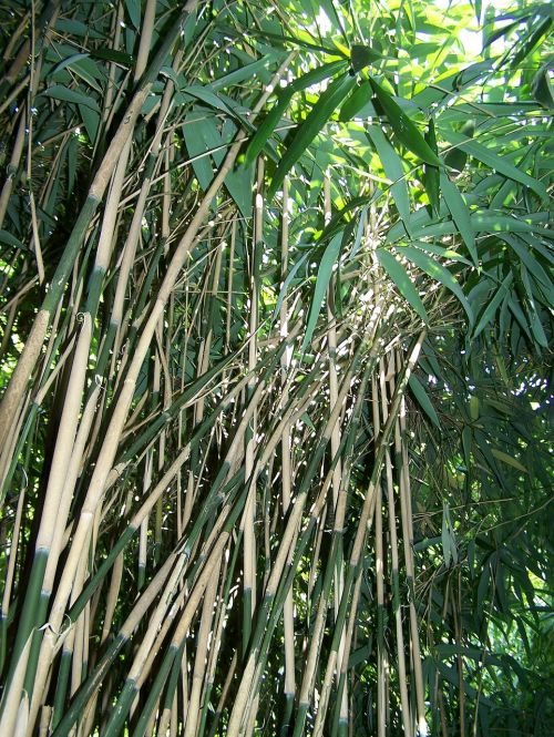 bamboo forest nature