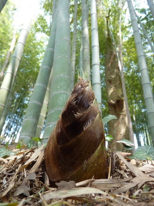 bamboo shoot sprout