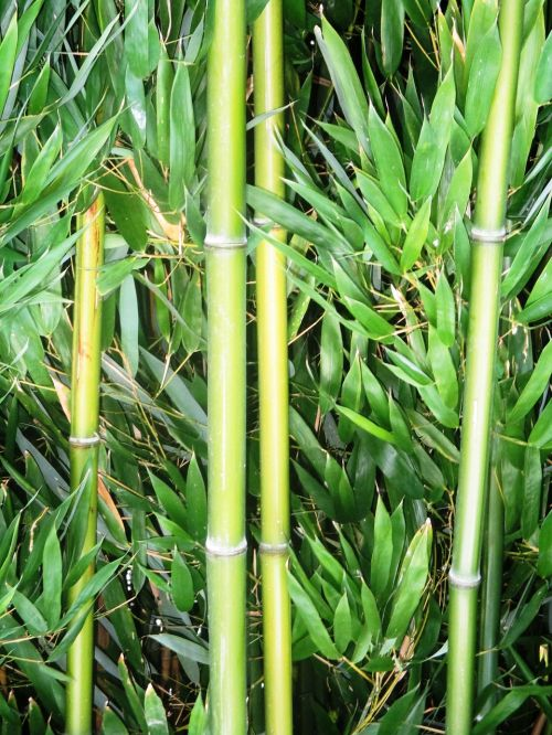 bamboo bamboo cane plant