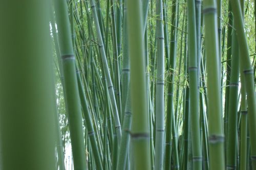 bamboo stalks bamboo forest