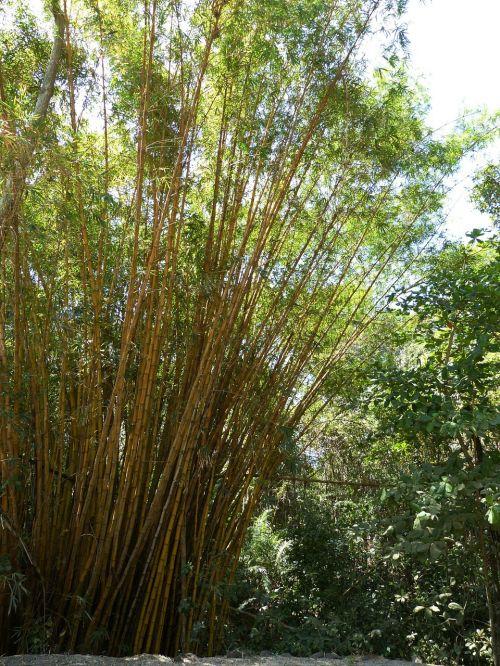bamboo grass bamboo plants