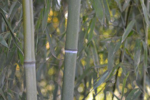 bamboo monocotyledons poaceae