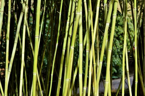 bamboo bamboo forest giant bamboo