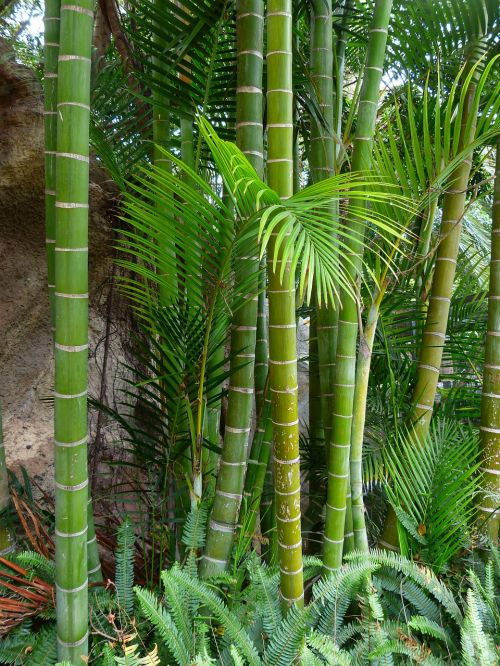 bamboo giant bamboo bamboo trees