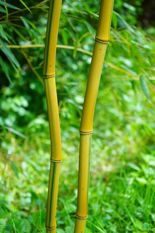 bamboo stalk green