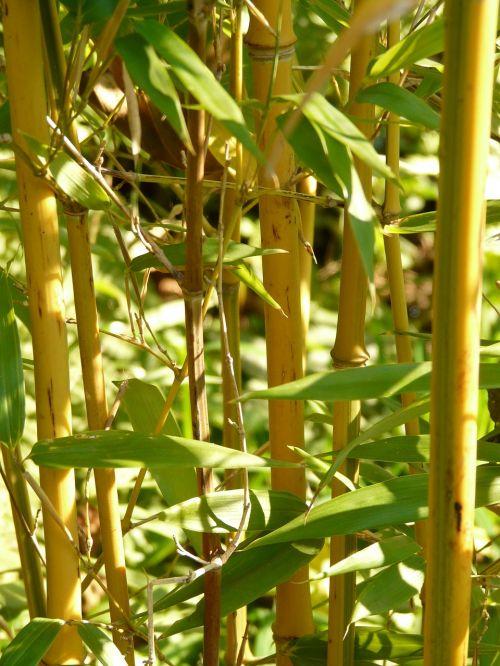 bamboo node bamboo gold bamboo tube