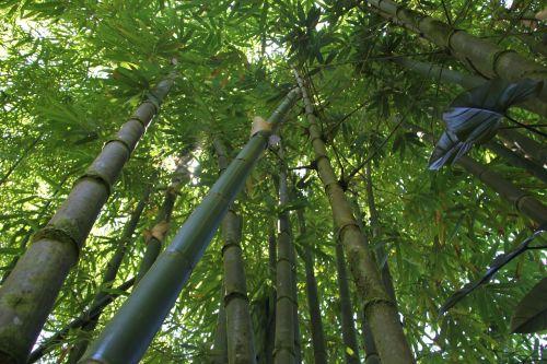 bamboo bamboo forest hawaii bamboo