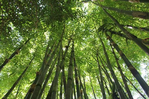 bamboo bamboo forest hawaii bamboo