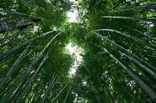 bamboo bamboo forest bamboo plants