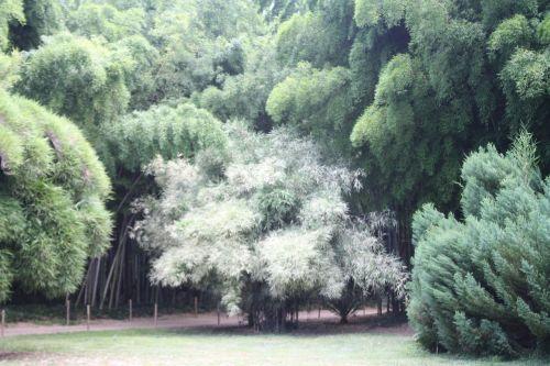 bamboo ardèche plant