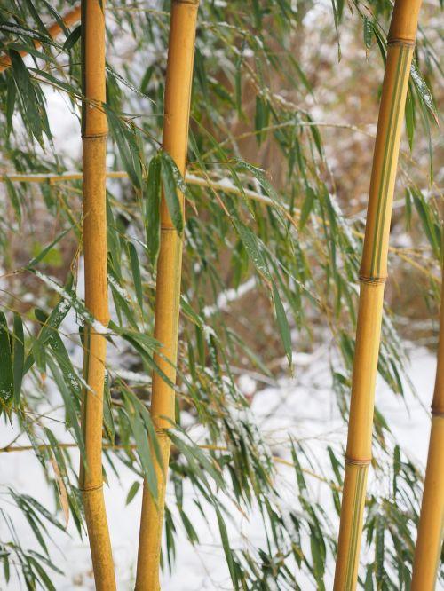 bamboo tube plant