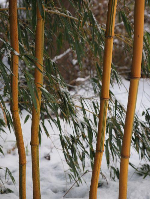 bamboo plant aureocaulis