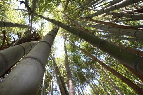 bambukas,miškas,tropikai