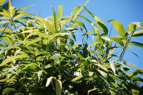 bamboo nature sky