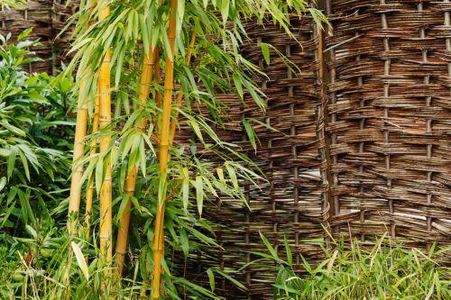 Bamboo Plant At Garden