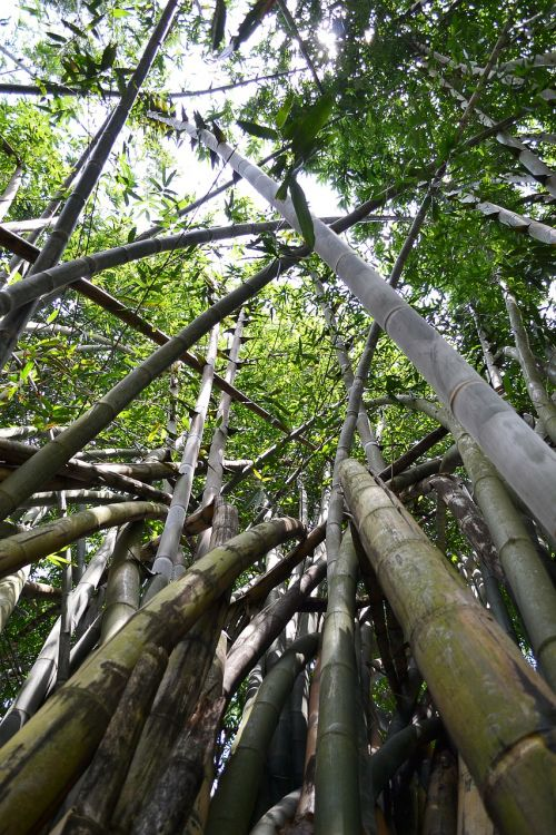 bamboo tree bamboo bamboo forest