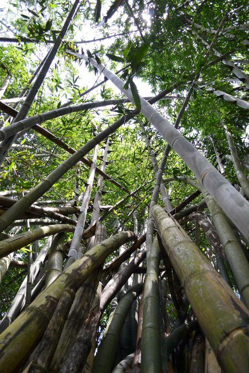 bambuko medis,bambukas,bambuko miškas,gamta,Šri Lanka,saulės šviesa,ceilonas,Mawanella,peradeniya