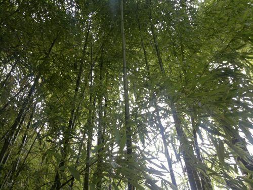 Bamboo - Bamboo - Bambuseae