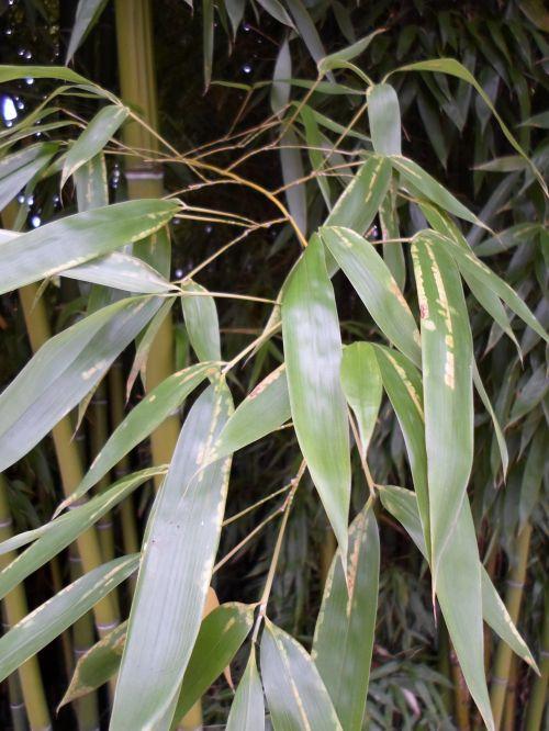 Bamboo, Green Foliage, Vegetation