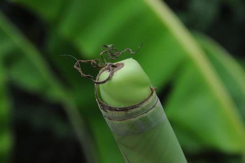 banana leaf curled