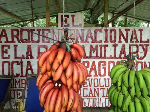 banana galapagos islands fruit