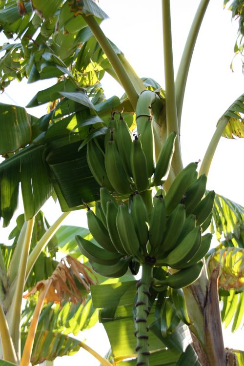 banana,banan tree,exotic fruit,turkey