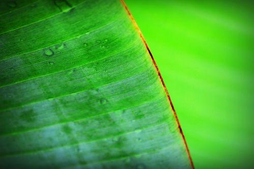 banana beautiful botany