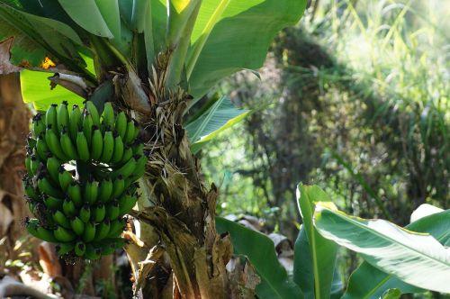banana plantain tree platano