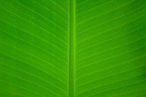 banana leave green