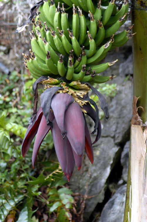 banana nature fruit