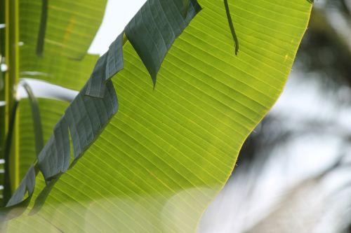 banana leaves plants