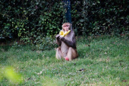 banana monkey green