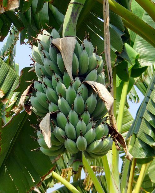 banana wild banana tropical
