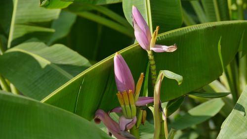 banana blossom flowers b