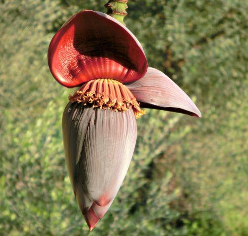 banana flower banana shrub banana plant