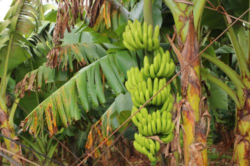 banana harvest banana tissue culture harvest nãi banana tissue culture