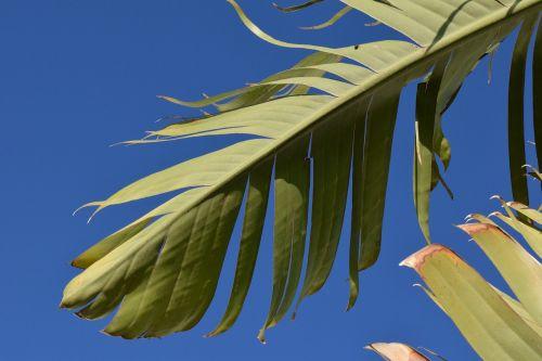 banana leaf banana shrub