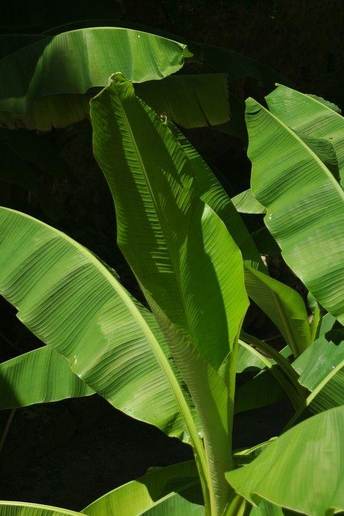 banana leaf  tropics  plants