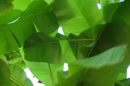 banana leaf  plants  tropics