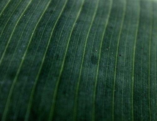 Banana Leave Texture